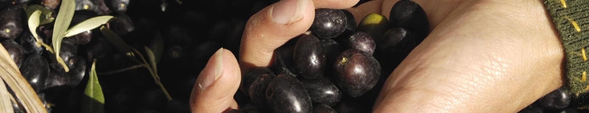 Attrezzi per la raccolta delle olive in vendita online