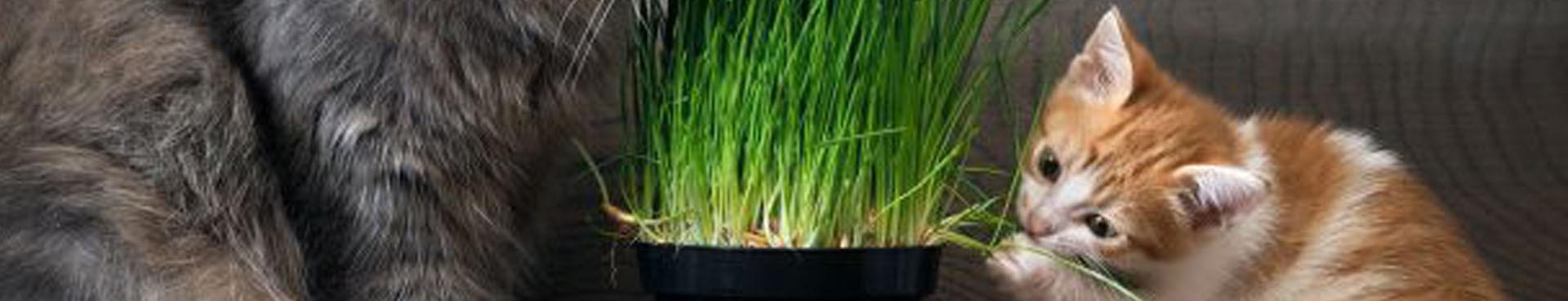 Semi per erba gatta